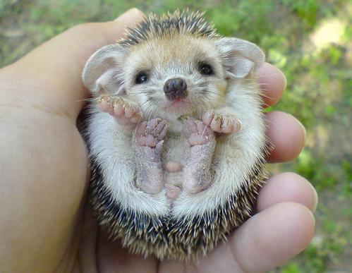 baby-hedgehog
