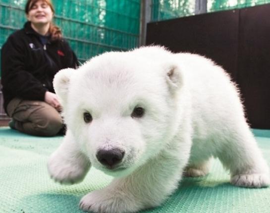 l-baby-Polar-bear1