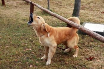 Barking-Dog