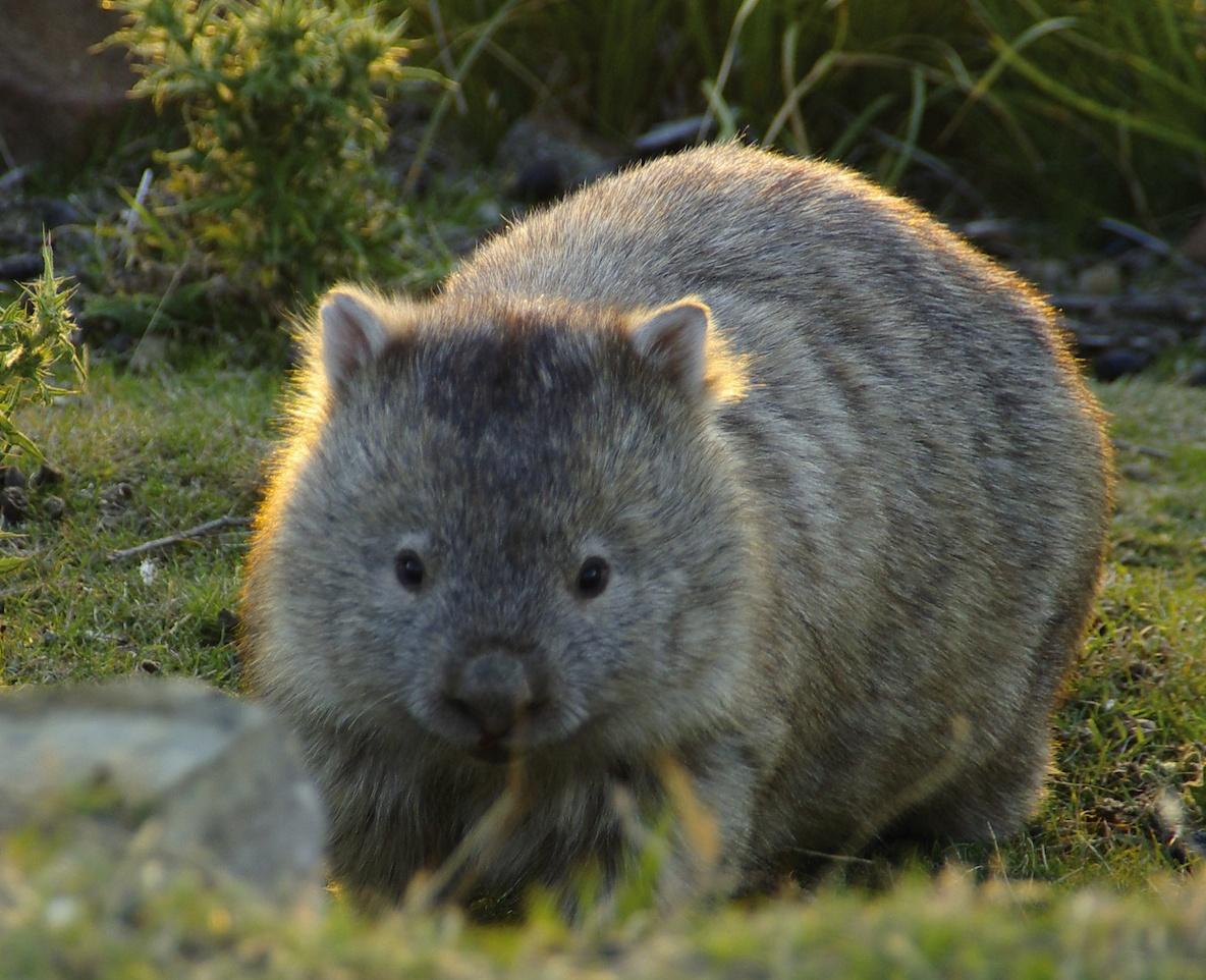 Wombat Video