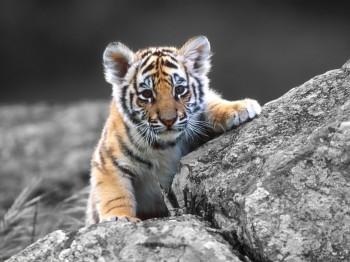 baby-tiger-wallpaper-3
