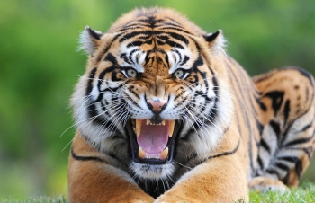 sumatran-tiger-male-portrait-web